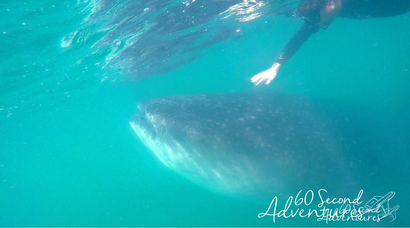 la paz, whale shark diving, where to go whale shark diving